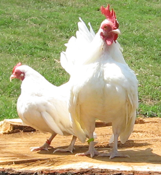 Bantam Chickens. The chicken is one of the most common and widespread ...